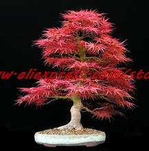Potted30seeds/bag Home Garden Plant Bonsai Tree Seeds Acer palmatum Crimson Queen Seeds Mini Japanese Red Maple Seeds Bonsai(China)