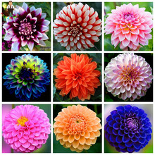 80pcs/Bag Dahlia Flower Dahlia Seeds,(Not Dahlia Bulbs)Bonsai Flower Seeds Gorgeous Flower Balcony Potted Plant For Home Garden