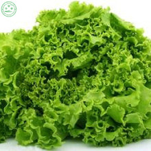 100 United States Lettuce Seeds good taste , easy to grow, great salad choice ,DIY Home vegetable fr11