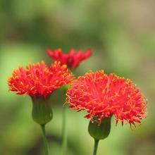 A little red flower seeds seeds red leaves safflower tbsp fine herbs to cook raw food 30 pcs e14