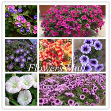 2017 Free shipping Morning glory seeds 300pcs Petulantly Seeds Balcony Bonsai Flower Petunia set DIY Home Garden Easy to plant