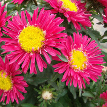 A Pack 100 pcs/pack Plum Red Callistephus Chinensis Flower Seeds Balcony Potted Bonsai Plant Flower Seeds Aster Seed