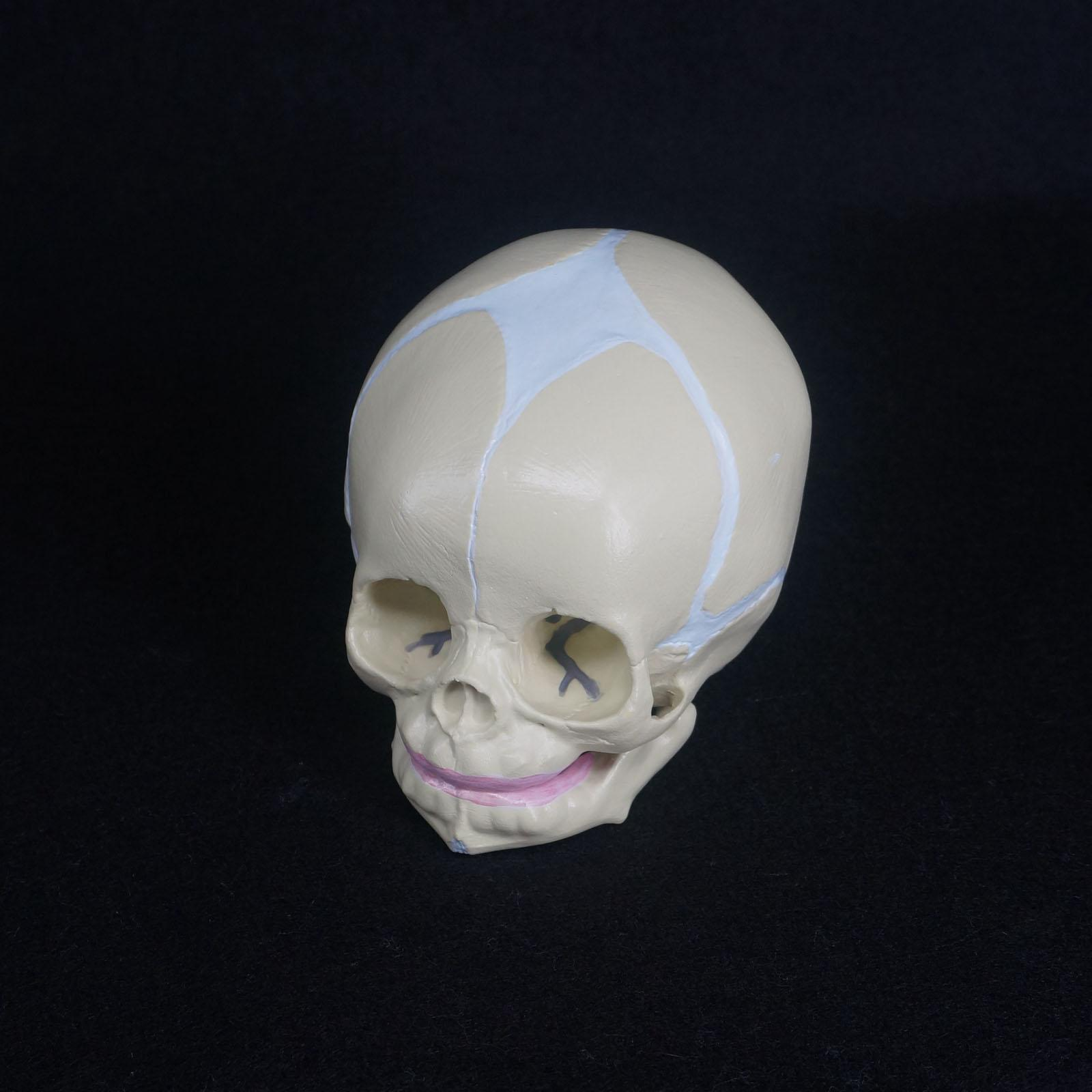 Human Fetal Baby Infant Medical Anatomical Skull Model For Art Sketch High Simulation<br>