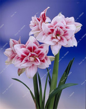 Multi Color Amaryllis Bulbs , Cheap lily potted seed, Very Easy Grow Home Bonsai balcony flower - 1 pcs/bag