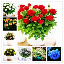 100pcs Red Rose Seed Professional Seedling Leaf Plant / Colorful Choice Garden and Indoor Seed Potted Plant.flowers.(China)
