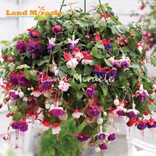 LAND MIRACLE Heirloom Hanging Fuchsia Mixed Seeds, 100 Seeds, Garden Ornamental Flowers Plant Seeds Potted Plant(China)