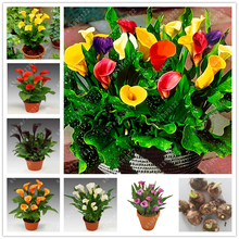 True calla lily bulbs, bonsai flower bulbs zantedeschia aethiopica (not calla lily seed) Bulbous Root plant pot for garden 2 pcs