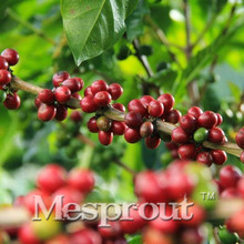 100% True Coffee Bean Seeds. Tropical Bonsai Tree Seeds,Perennial Green Vegetable fruit Coffee tree bonsai Balcony  Seeds 10PCS