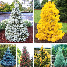 100 Pcs Colorado Blue Fir Seeds Plants Blue Spruce Seeds Picea Tree Potted Bonsai Courtyard Garden Bonsai Plant Pine Tree Seeds(China)