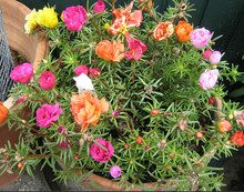 New 500 Seeds Home Garden Mixed Mexican-rose Sun Plant Portulaca Moss Rose Portulaca Grandiflora Flower Seeds Free Shipping