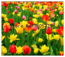 Tulip seeds, potted flowering plants, indoor potted plants Tulip 100pcs seeds