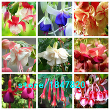 Hot Sale Unique Red Fuchsia Perennial Flower Seeds Potted Flowers DIY Planting Flowers Bell Flower Seeds Multicolor 100PCS