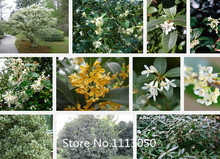 Promotion Sale!Aromatic osmanthus seeds 1pack 20seeds 10KIND Diffenent flower seeds plant for home and garden Free shipping Nove