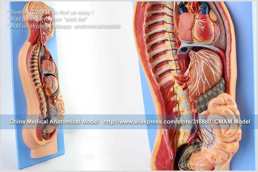 CMAM-TM65081 Sympathetic Nervous System 16