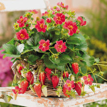 "Local Farmer ""Toscana Strawberry 100 Seeds"" Very Sweet Cute Mini in Basket  A064"