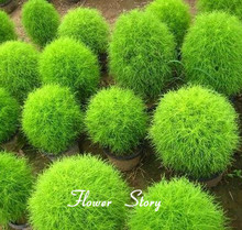 Kochia Scoparia Seeds Ornamental Plants Summer Cypress 98% Germination Rate Grass Seeds Free Shipping