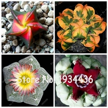 New Fresh Seeds 100pcs/Pack Five-pointed Star Cactus Flowering Color Cacti Rare Cactus Seed Office Mini Plant Succulent