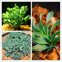 Hot Selling 20pcs/pack Latifolia Spring Grass KK Seeds, Succulent Bonsai Seed,  Magic Spring Flowers Plants Garden Pot Plant DIY
