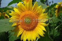 Free shipping Sunflowers Seeds Bonsai tree sementes de flores Flower seeds home case e jardim garden plantas about 200pcs/lot(China)