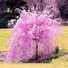 10pcs White fountain weeping cherry tree seeds,japanese bonsai sakura tree seeds DIY Home Garden Dwarf Tree(China)