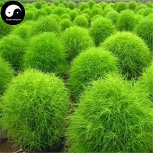 Buy Green Kochia Scoparia Seeds 400pcs Plant Herb Belvedere For Broom Cypress Di Fu Zi(China)