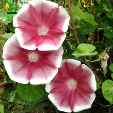 Imported Japan Wine Red Garden Morning Glory Seeds, 10 Seeds, very beautiful annual flowers E3522