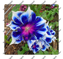 200pcs/bag Picotee Blue Morning Glory seeds,rare petunia seeds,bonsai flower seeds,plant for home garden Easy to Grow!