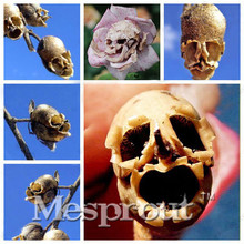 The Death Rose Seeds Rare And Mysterious Plant Species Of Snapdragon Flower Seed Skull 50pcs Peas France Hot free shipping