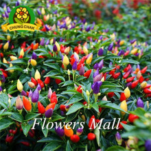 Free Shipping Easy To Grow Rainbow Chili peppers seeds 200pcs Multi color Bonsai Pepper seeds Interest Mini Garden & Home Plant(China)