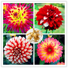 Hot Sale 2 Bulb Dahlia Bulbs Beautiful Perennial  Dahlia  Flower Bulbs Bonsai Plant DIY Home Garden