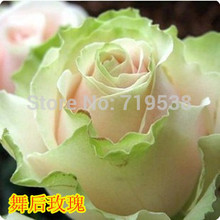 After the Dance New Rose potted roses / flower rose 100 flower seeds