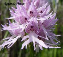 100 Seeds / pack , Orchis italica, also known as: Italian men orchid, pyramid monkey orchid, orchid testes(China)