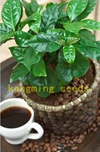 20 Pcs Coffee Bean Seeds Balcony Bonsai Tree Plant Seed Coffee Cherry fruit Seeds for home garden easy grow