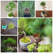 20/bag Thunbergii Japanese Green Pine Tree Seeds Bonsai Flower Easy Growg DIY Home Garden Potted Plants Free Shipping(China)
