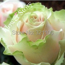 200 Dancing Queen Rose Seeds,  Fresh & Real DIY Home Garden Flower Plant Seeds,Free Shipping