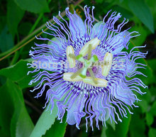 1 bag 20 seeds,Passiflora incarnata, Maypop Vine, purple passion flower, fragrant blooms, easy grow, zones 5 to 10, tasty fruit(China)