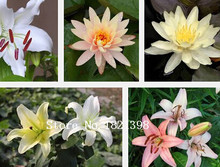 100PC Senior Perfume Lily Seed, Varieties Garden Plants Flower Seed Bonsai Lily Seed