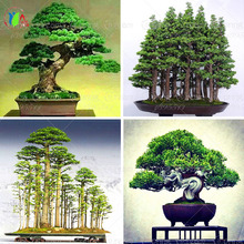 10 juniper bonsai tree potted flowers office bonsai purify the air absorb harmful gases free shipping(China)