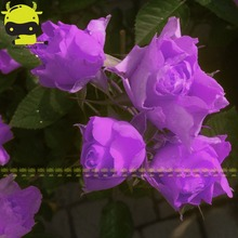 Rare Lavender Queen Rose Flower Seed, 50 Seeds/Pack, Bonsai Bush Rose Tree Plant Garden Ornamental