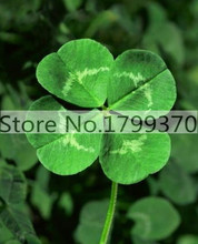 11.11 On Sale 100/bag Day Four Leaf Clover, Grow Your Own for Luck grass seeds for flower pot planters