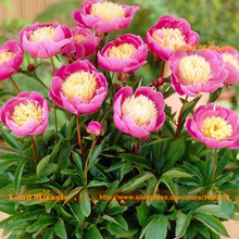 Heirloom 'Bowl of Beauty' Peony Flower Seed, 10 Seed/Pack, Rare Dormant Plants Pink Paeonia suffruticosa-Land Miracle