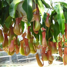 Hot selling 200 pcs fishing fly Nepenthes seeds,novelty patio/balcony eat mosquito plant flowers,Free shipping.