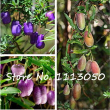Australia Heirloom Purple Apple-berry Seeds,Billardiera Longiflora Climbing Plant Edible,Plant DIY Home Garden-10 Pcs