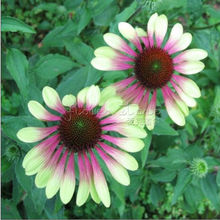 100 Impressive Green Envy Coneflower Flower Seeds, rare color