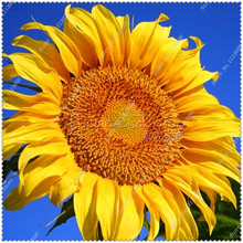 50pcs/bag Giant Sunflower Seeds potted or yard flower plants seeds,bonsai seeds for home garden