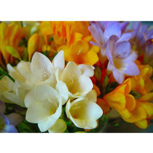 freesia seeds potted seed freesia flower seed variety complete -50 seed / pack
