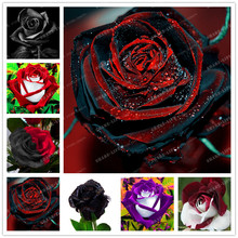 100PCS Rare Rose Seeds Black Rose Flower With Red Edge Rare Rose Flowers Seeds For Garden Bonsai Planting home garden plant(China)