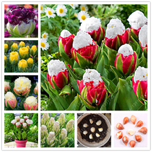 Good quality tulip bulbs,potted plants rare bulbs tulips, in garden plant flower bulbs, Bulbous Root tulipanes 2 pcs
