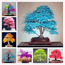 tree seeds 20 maple seeds bonsai blue maple tree japanese maple seeds Balcony plants for home garden(China)