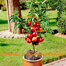 Bonsai Dwarf Red Apple Tree Seeds, 20 Seeds/Pack, Very Delicious Fruit Tree Seeds Easy to grows!